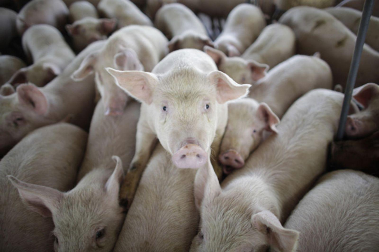 Секс са свиней 14 фотография