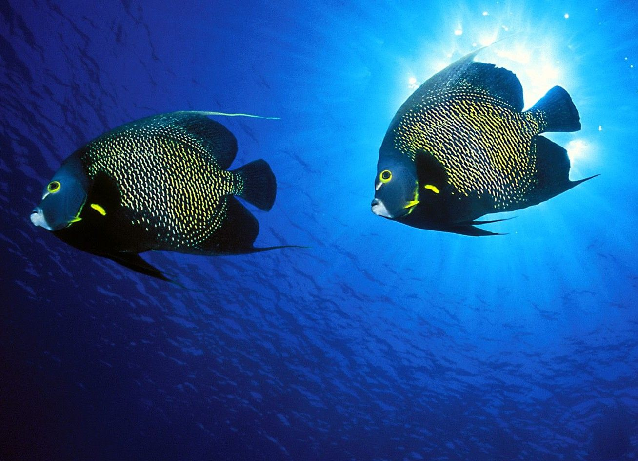 5. French Angelfish