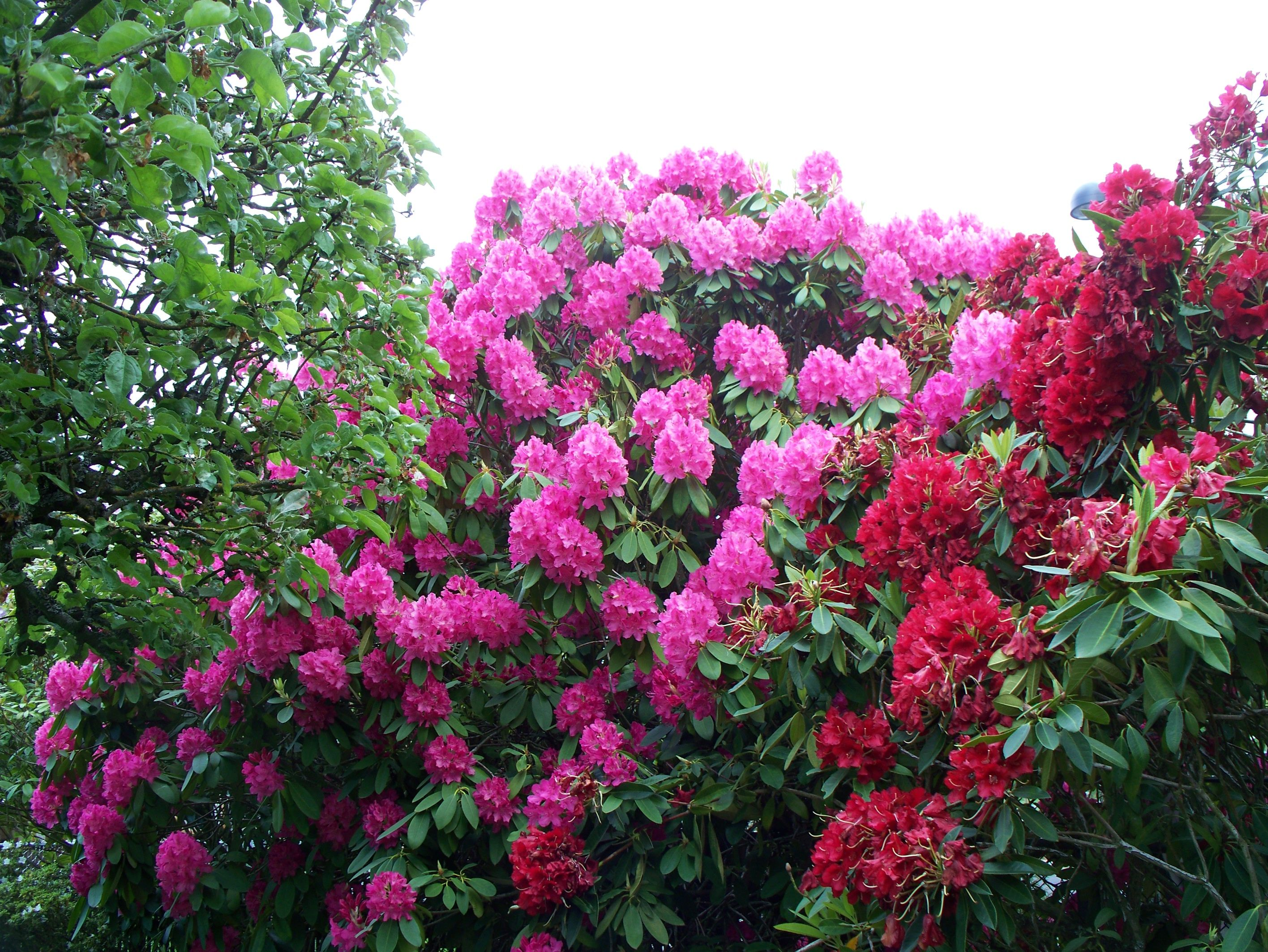 10. Rhododendron