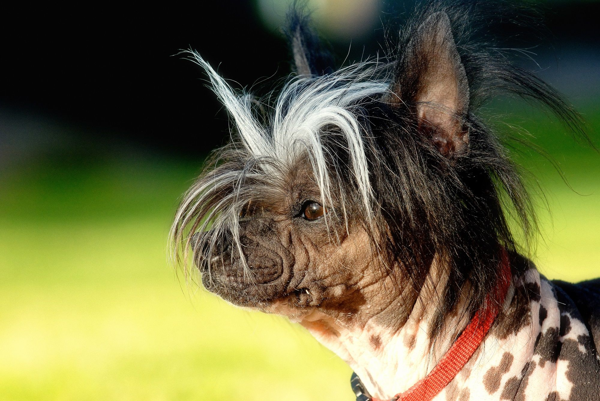 10 Of The World's Ugliest Dog Breeds