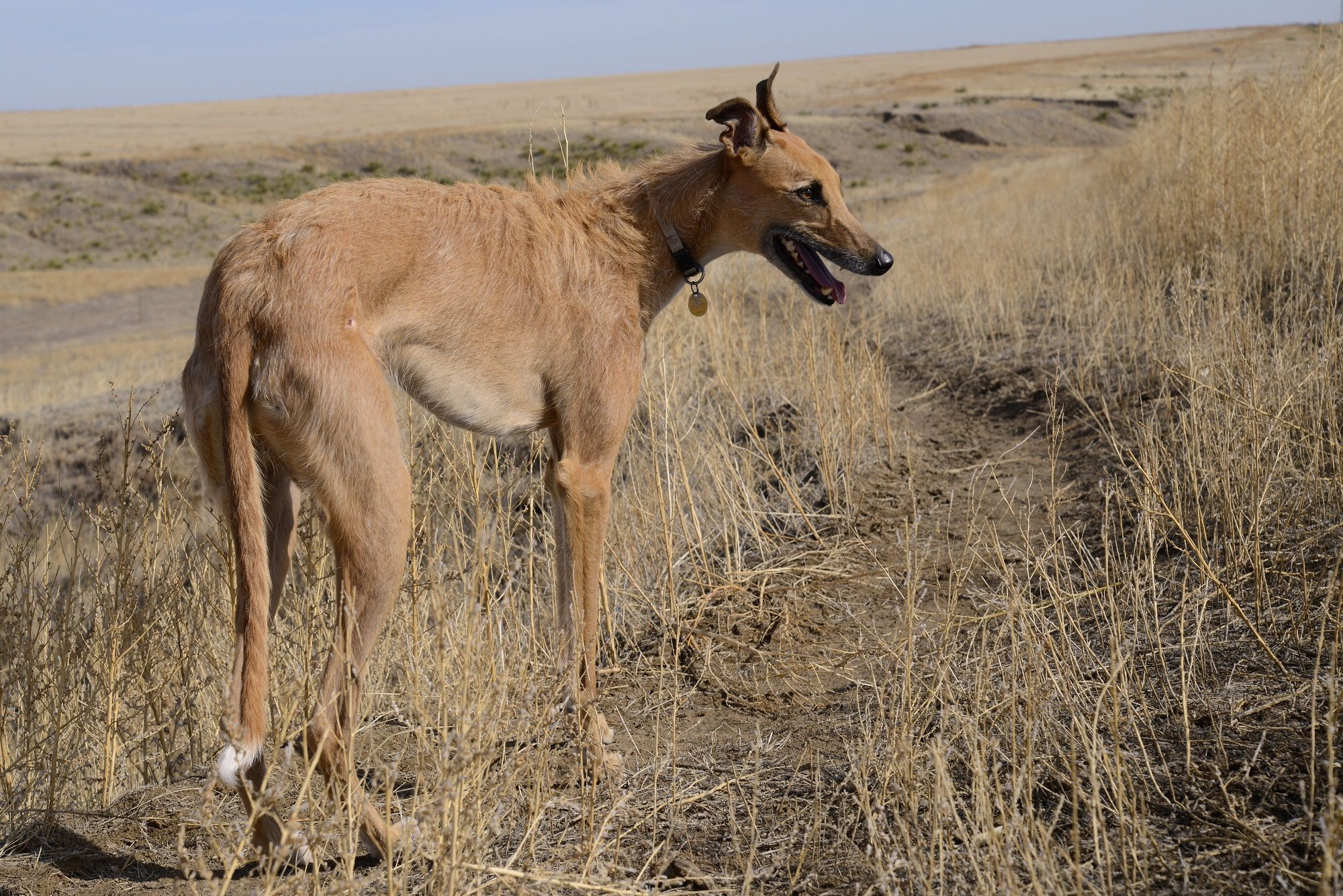 6. American Staghound