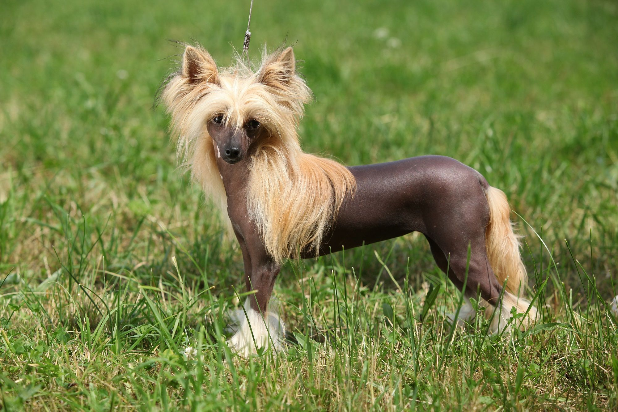 1. Chinese Crested