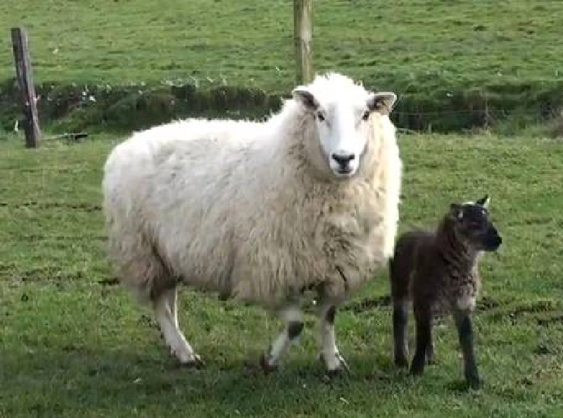 13. Sheep-Goat Hybrids and Chimeras