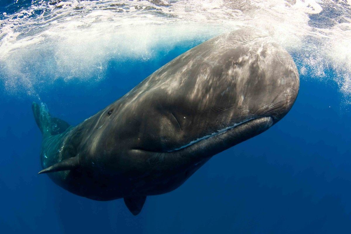 1. Whaleship Essex Sunk By a Sperm Whale
