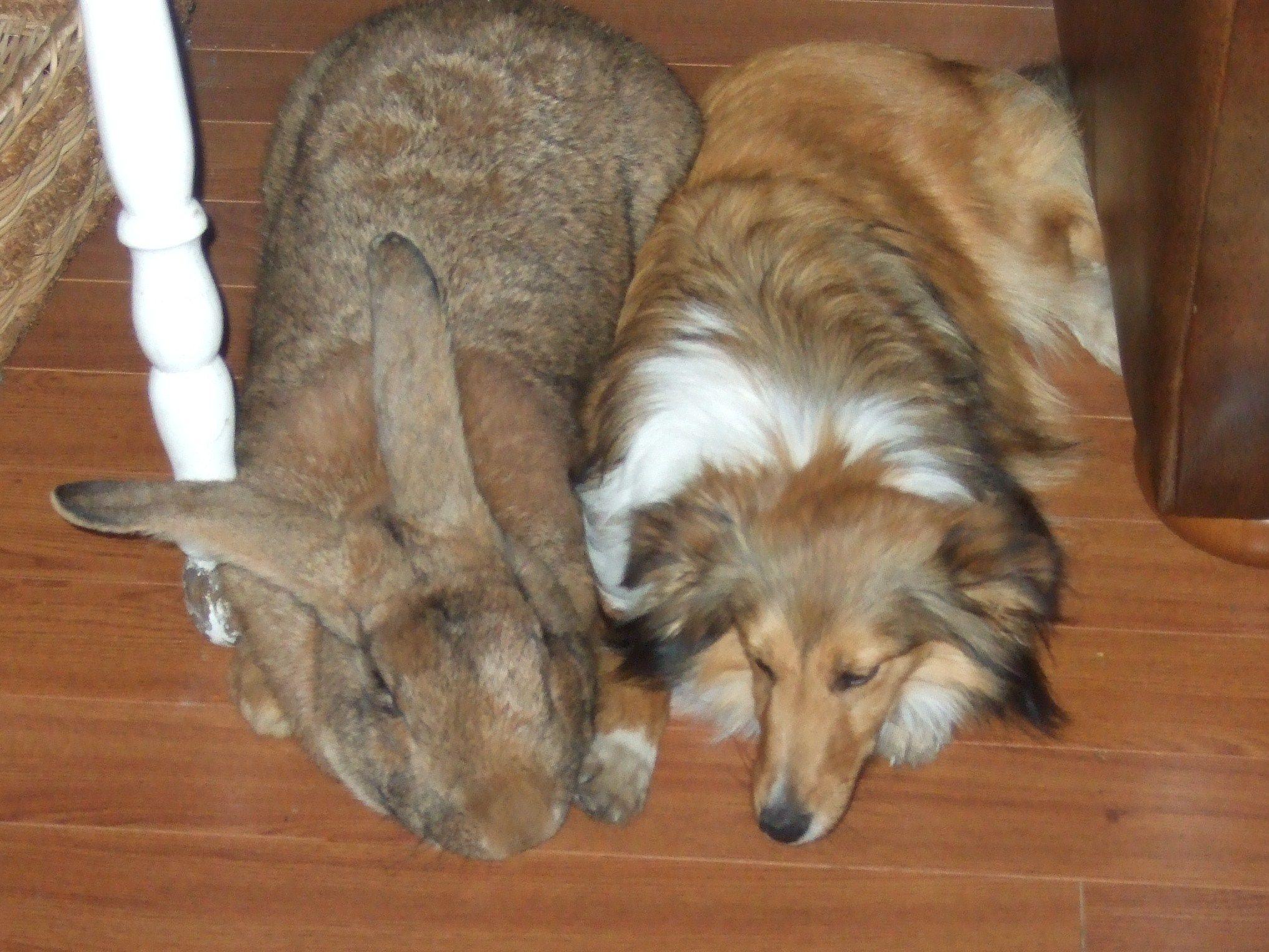 2. The Flemish Giant –World's Largest Rabbit