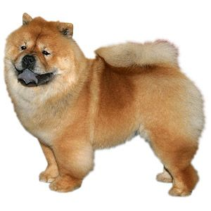 chow-chow-breed-profile
